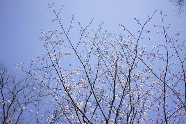 春はひと足ずつ カタクリの群生地その2