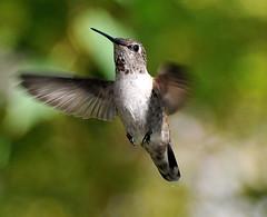 hummingbird (buffalo_jbs01) Tags: nikon hummingbird d3s nikonflickraward nikonflickrawardgold nikonflickrawardplatinum