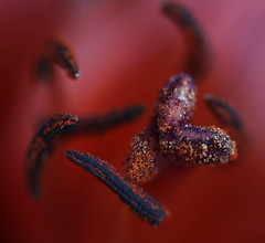 Pollen (Karen Blakely) Tags: red plants flower macro texture nature closeup pollen karenblakely ringexcellence karenblakelyphoto