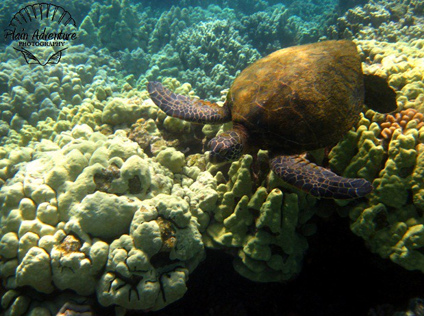 Number 4: Green Sea Turtle near the Kohala Coast