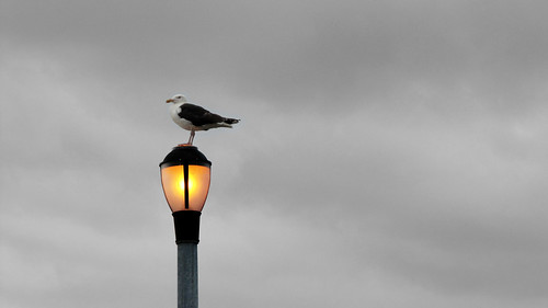 Seagull on a streetlight