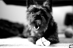 Chloe Claims a Bone (NONfinis) Tags: pets dogs yorkie animals yorkshire westie chloe terrier westhighland fourche afnikkor50mmf18d