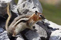 Golden-Mantled Ground Squirrel (Jon Christall) Tags: park camping canada animal rockies nationalpark squirrel hiking wildlife alberta banff rockymountains groundsquirrel banffnationalpark goldenmantled parkersridge