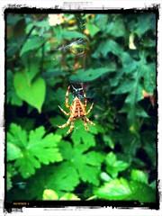 244/i365 Orb Spider