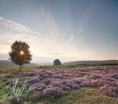 Rowan Sunset 2 (Pixelda) Tags: sunset heather moor pixelda