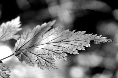 09/06/11 Leaf Lines by roswellsgirl