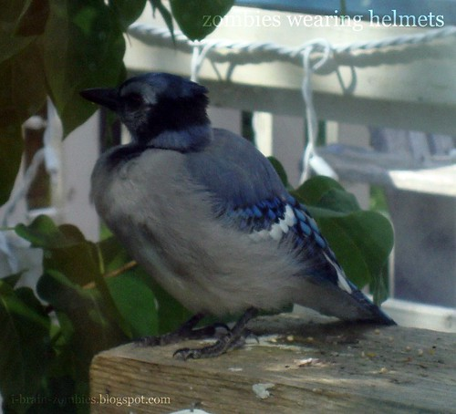 Bluejay on rail