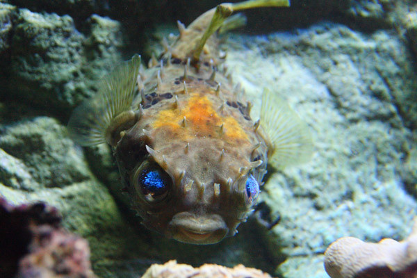 Porcupine.Fish
