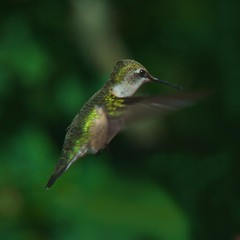 _DSC4492     3.1k (ChanHawkins) Tags: hummingbird grandhaven birdwatcher sigma150500mmlenstesting
