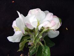 P.22 Flower Cluster