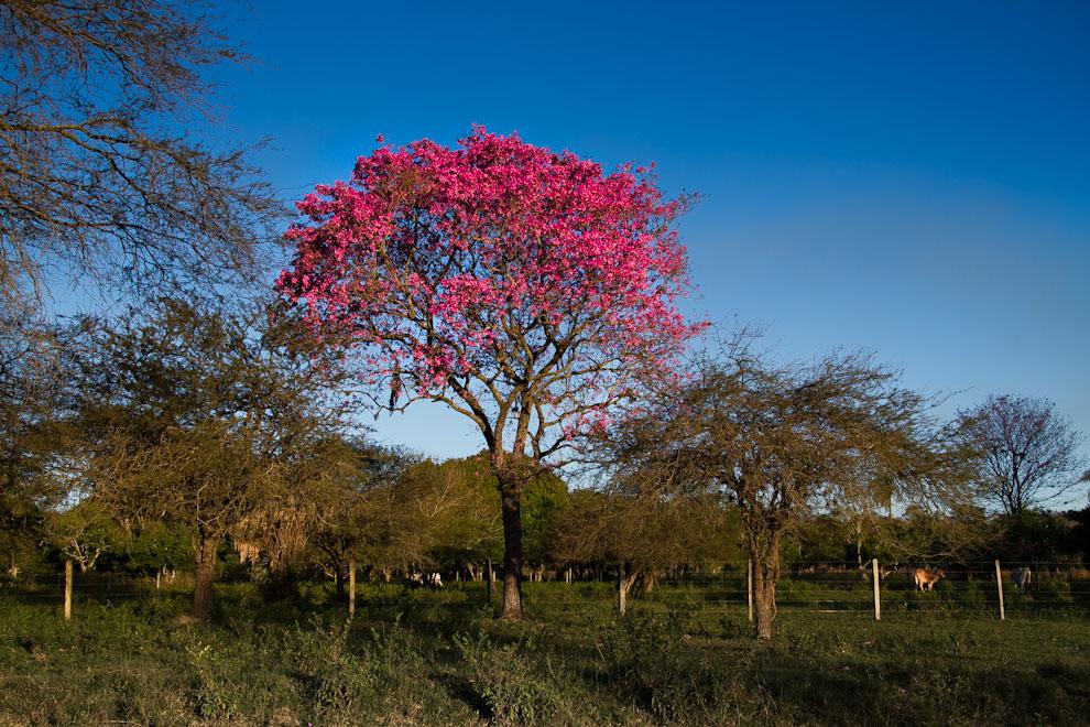 Llegando a Zanjita nos recibió un Lapacho con hermosos colores. (Tetsu Espósito)
