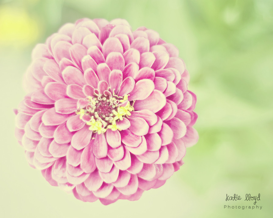 Pink-and-mint-green-zinnia-