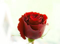 роза в день рождения