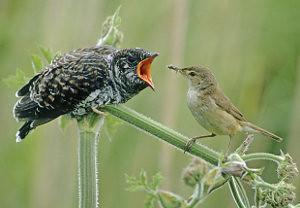 Poor Mother Cuckoo...