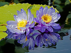 Double Blue (JacquiTnature) Tags: blue reflections pond watergarden lilies waterlilies waterplants flowersandplants