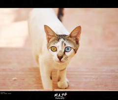 Cats Heterochromia ! - M.A.J photography (M.A.J Photography) Tags: cats cute nature beautiful animal animals cat wonderful eyes colours pussy adorable cutie arabic stunning ksa بس citten حيوانات قطوة حيوان بسة قطو mygearandme musictomyeyeslevel1