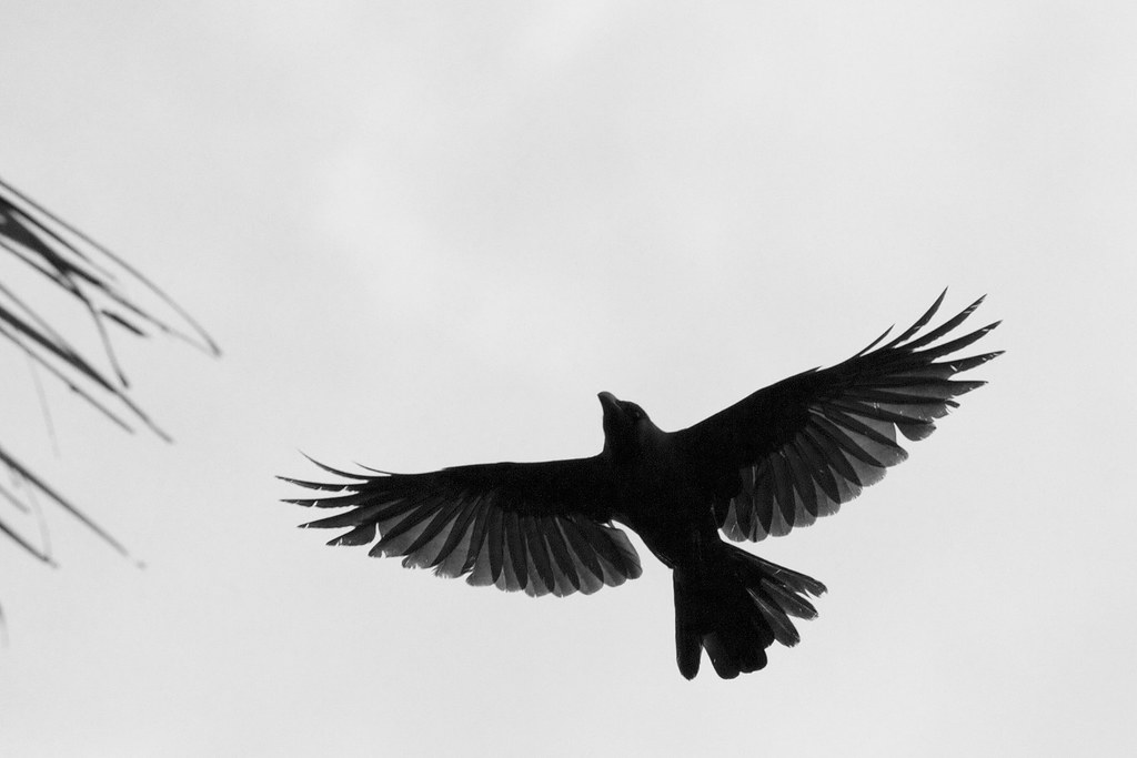 Flying crows silhouette