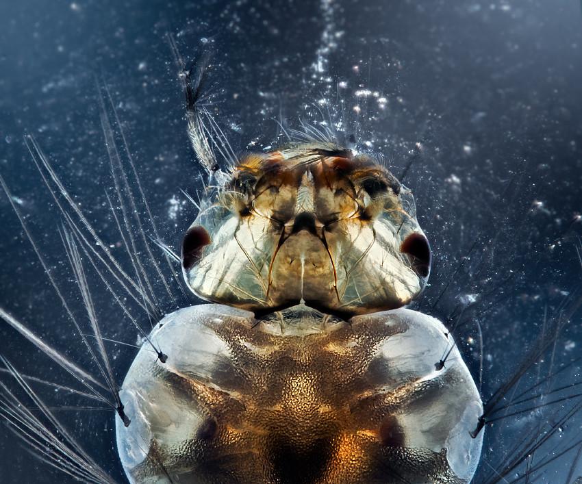 Mosquito Larva Jaws