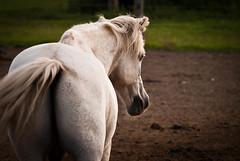 Granite (Morgane Bioulac) Tags: horse cheval pony chevaux mlb poney ecuriedelagane morganebioulac