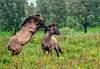 Fighting Horses (Robert Stienstra Photography) Tags: horses nature wildhorses autofocus wow1 wow2 wow3 fightinghorses flickraward doublyniceshot doubleniceshot tripleniceshot mygearandme mygearandmepremium mygearandmebronze mygearandmesilver mygearandmegold ringexcellence dblringexcellence tplringexcellence allnaturesparadise robert1968 4timesasnice 6timesasnice 5timesasnice