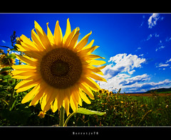 Sunflower @ Holiday     [explored] (Borretje76) Tags: flowers blue vacation sky plant flower field yellow clouds contrast iso100 vakantie groen sony wolken sigma explore zomer sunflowers lucht 1020mm zonnebloemen geel wit veld blauwe f9 zonnebloem zomervakantie bigflower zaden explored zonnepitten lhotka a580 gupr borretje76 dslra580