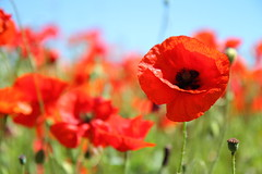 Original Poppy Pic (Louise Gardiner) Tags: poppy poppyfield