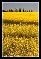 Striped Canola Field (stevenbulman44) Tags: summer calgary field yellow canola topshots anawesomeshot natureselegantshots