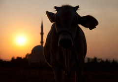 Articles of Faith (Backlit Cow), Dalaman (flatworldsedge) Tags: sun turkey cow glow minaret mosque holy backlit agriculture catchlight eartag yahoo:yourpictures=lightshade