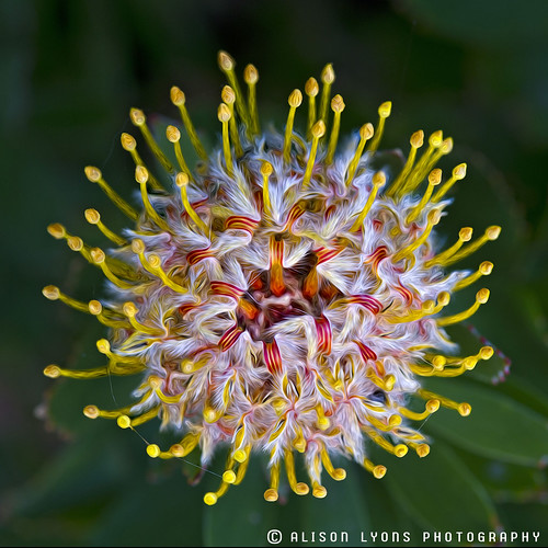 pixel protea by alison lyons photography