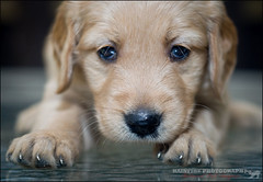 Blue (Rainfire Photography) Tags: blue puppy photography 5weeks godlenretriever rainfire rainfirephotography