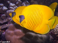 Lemon Butterflyfish (juredel) Tags: red sea 2 wallpaper mer fish macro yellow jaune rouge lemon underwater nemo redsea diving olympus clownfish anemone scubadiving nudibranch 27 poisson latitude plongée poissons butterflyfish papillons merrouge fonddécran poissonclown annae papierpaint epl1 latitude27 diveandphoto nudibranchchromodoris
