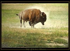 Bison shakin' off dust (Don Randall.) Tags: yellowstone bison nikond7000 mygearandme dustroll