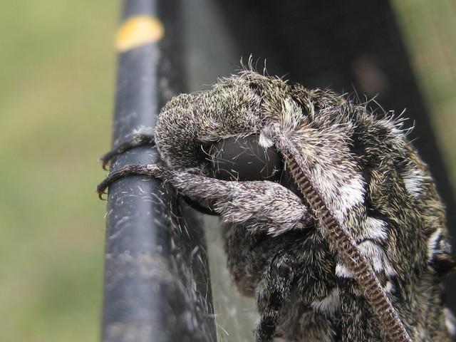 moth face