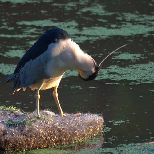 Black Crowned Night Heron grooming