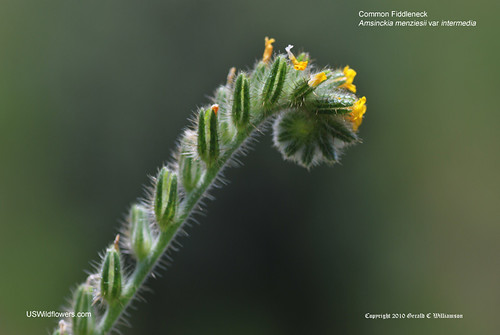 Common Fiddleneck, Menzie's Fiddleneck - Amsinckia menziesii