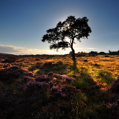 Backlit Tree (Paul Newcombe) Tags: uk pink flowers sun sunlight color colour tree english field grass silhouette landscape golden nationalpark saturated lowlight glow shadows purple heather derbyshire peakdistrict bluesky moors glowing backlit peaks surpriseview squarecrop goldenhour lonetree eveninglight moorland intothesun lawrencefield afternoonlight latelight peaksdistrict intothelight ndgrad nearhathersage
