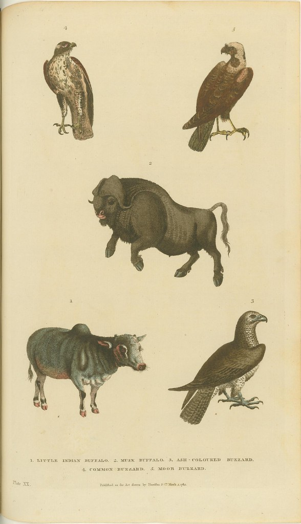 Buzzards and buffalo - engraved book illustration