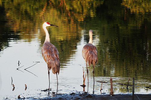 Sandhill Cranes at the Golden Hour