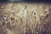 wheat (In Memory Lane~) Tags: summer england nature field dof bokeh mark wheat ii 5d 135mm 135l