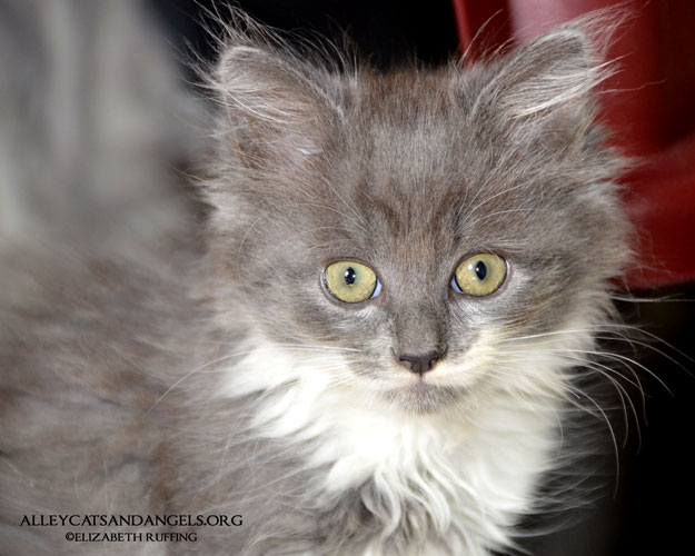 Sasquatch, gray-and-white long-haired kitten, adoptable through Alley Cats and Angels of North Carolina