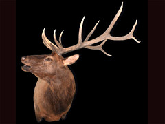 "Elk Taxidermy • <a style=""font-size:0.8em;"" href=""http://www.flickr.com/photos/27376150@N03/6059845813/"" target=""_blank"">View on Flickr</a>"