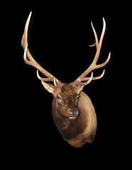 "Elk Taxidermy • <a style=""font-size:0.8em;"" href=""http://www.flickr.com/photos/27376150@N03/6059846845/"" target=""_blank"">View on Flickr</a>"