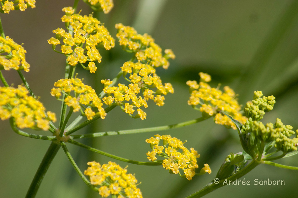 Golden Alexander (Zizia aurea)-2.jpg