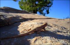 lizard at Dead Horse Point (f l a m i n g o) Tags: animal rock utah reptile critter hike lizard trail canyonlands