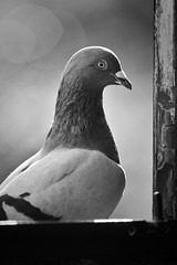 Sir Edward the Second. (Sebastian.gone.archi) Tags: cambridge bw nature proud nikon pigeon stjohns magdalene cripps d700