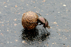 Dung Beetle at Work (cowyeow) Tags: africa elephant insect southafrica african wildlife beetle insects bugs safari crap sphere shit roll but poo waste beetles smelly rolling carry krugernationalpark feces dung kruger dungbeetle scarabaeoidea