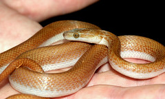 Brown House Snake (Lamprophis capensis) (cowyeow) Tags: africa brown southafrica reptile snake african wildlife safari common snakes herp krugernationalpark reptiles herps kruger herpetology lamprophis capensis herping snakehunting housesnake africansnake brownhousesnake lamprophiscapensis africasnake africaherpetology