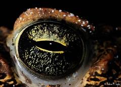 Cane Toad (Andrew Snyder Photography) Tags: eye southamerica nature cane marina nikon rainforest wildlife conservation guyana research jungle toad biology herp biodiversity bufo bufomarinus iwokrama operationwallacea opwall andrewsnyder rhinella rhinellamarina bufotoxin guianashield asnyder5 andrewmsnyder