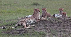 Cheetah mother and three grown cubs (JGHA) Tags: animals kenya cheetah predator masaimara