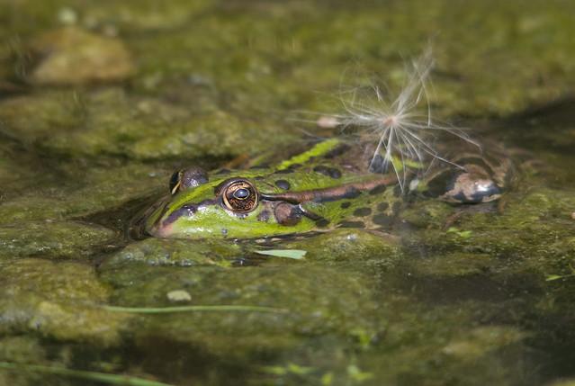 marsh frog + thistle seed